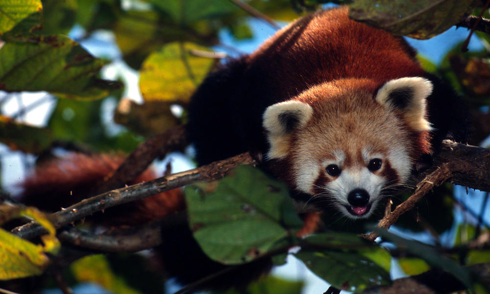 red panda in tree, Sikkim, India