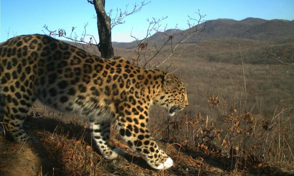 camera trap image of Amur leopard
