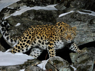 Wild female Amur leopard on rocky hillside in Far East Russia