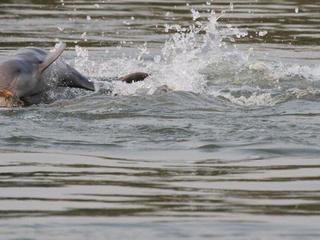 Irrawaddy dolphin calf
