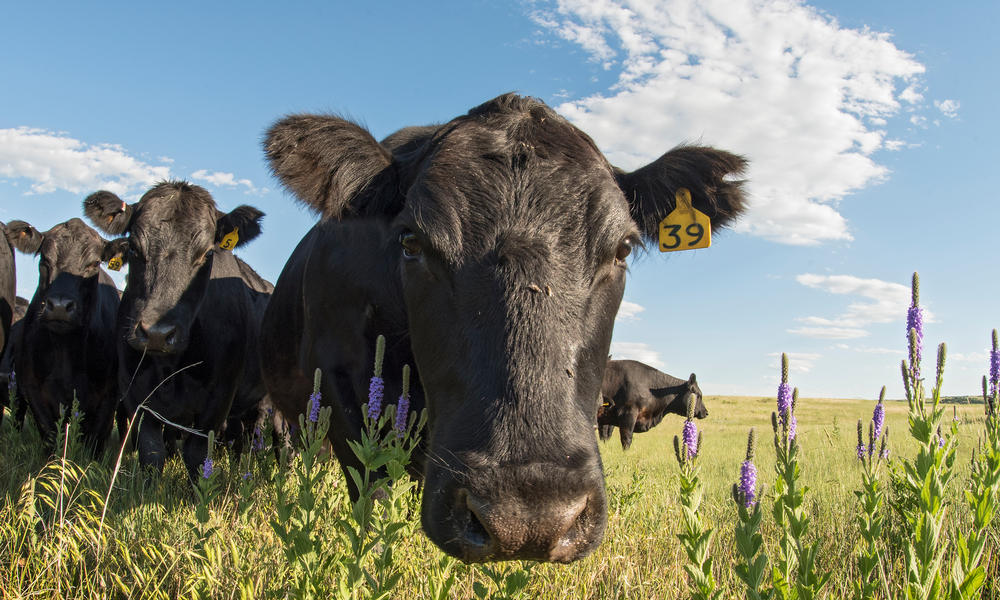 cattle and wildflowers