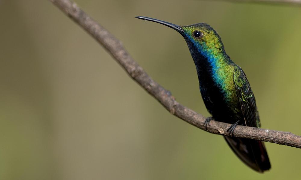 A Black-throated Mango (Hummingbird) perched on a thin twig