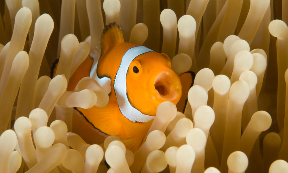 Clown fish opening its mouth in an anemone