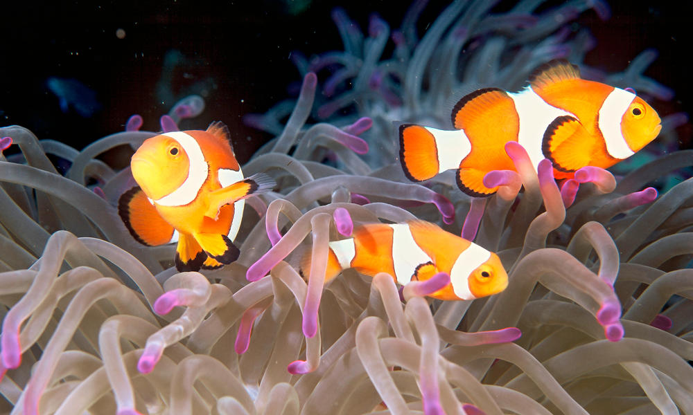 False clownfish (Amphiprion ocellaris) in a balled anemone in the reef
