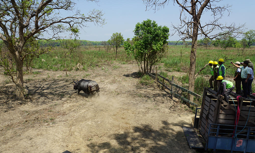 The four translocated rhinos are now being monitored continuously by the staff of Dudhwa National Park and the Uttar Pradesh Forest Department, with support from WWF-India.