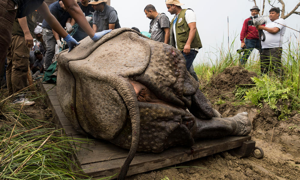 A small pit dug besides the sedated rhino helps the team pull the animal towards the crate using a sledge.