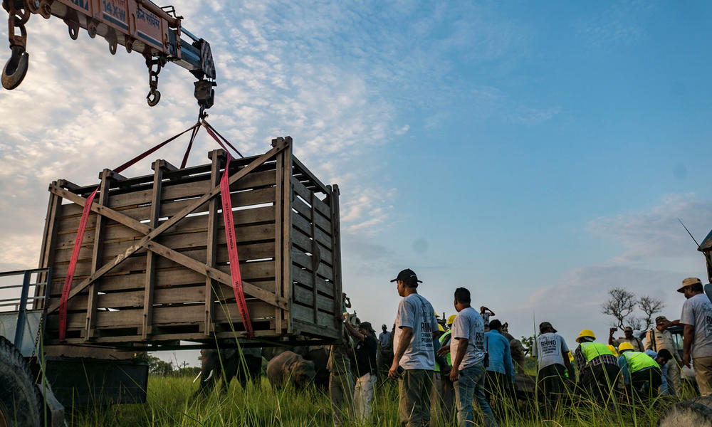 When the rhino is securely inside the create, veterinarians administer medicine to revive it. With the help of a crane, the crate is then moved onto a specialized truck that will transport the rhino to the release site.