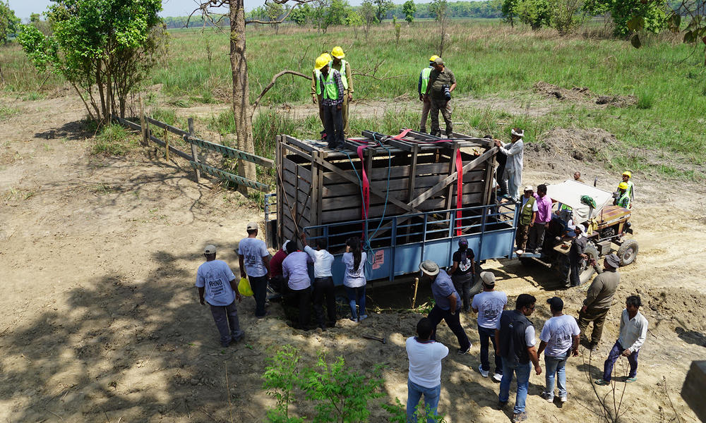 The rhino arrives at its new home in Dudhwa National Park and is released back into the wild. Field staff closely monitor the rhino's movement and behavior after it's released.