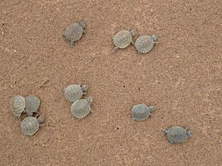 South American River Turtle (Podocnemis expansa) Ilha de Praia Alta, Rondonia. Brazil