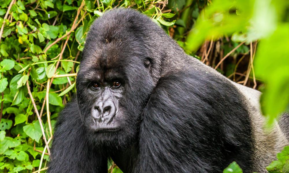 A mountain gorilla from the Varunda Massif