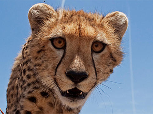 A close-up of a Cheetah's face looking inquistively into the camera