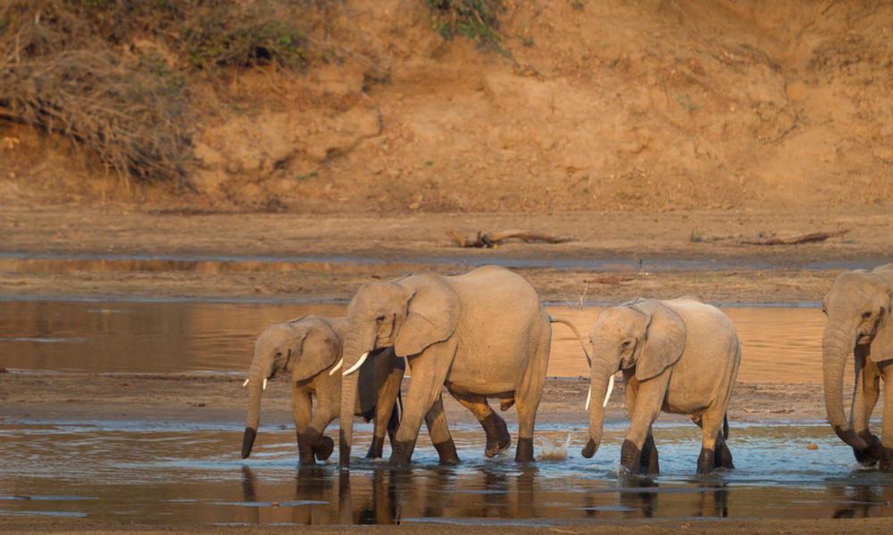 African elephants at Luangwa River