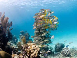 Coral with a big school of fish. Hol Chan Marine Reserve, Ambergris caye, Belize, Central America.