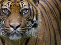 Head portrait of Sumatran tiger (Panthera tigris sumatrae) captive