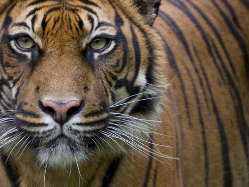 Head portrait of Sumatran tiger (Panthera tigris sumatrae) captive
