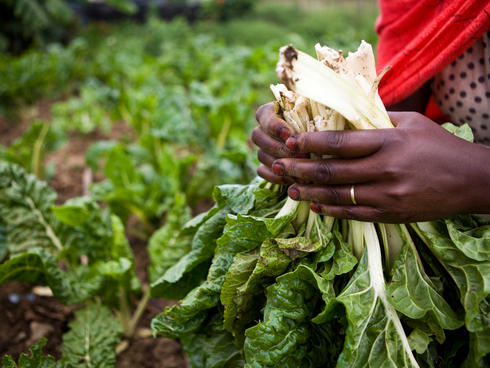 A close up of Zaineb Malicha picking vegetables on her farm in Chemi Chemi, Lake Naivasha, Kenya. She is a member of WWF's Chemi Chemi Dry Land Women's Farming Project in Lake Naivasha, Kenya, and they have received training on drip irrigation.