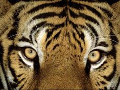 Indian tiger eyes
