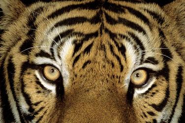 Tiger Face Close-up