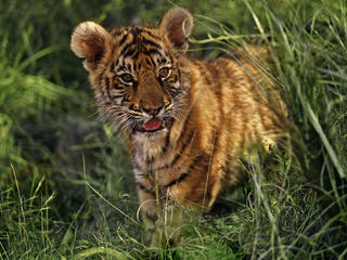 Tigers Can Have Positive Effects on Commuities