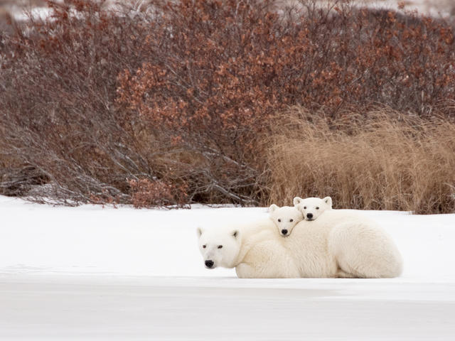Polar bear with cubs in Churchill