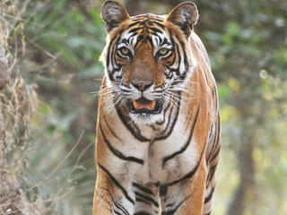 Bengal Tiger in the Ranthambore National Park, India