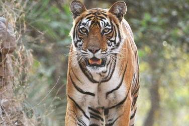 an amur tiger cub gets a new lease on life stories wwf