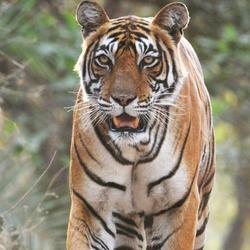 Tiger hero