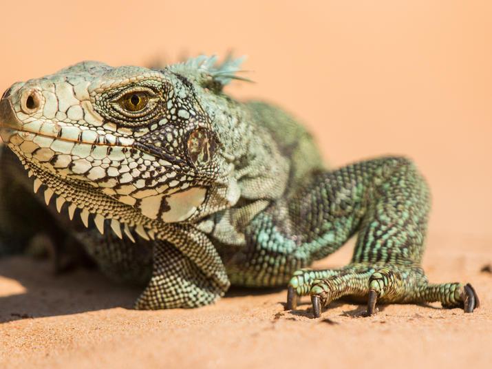 River Bita lizard Jorge Garcia