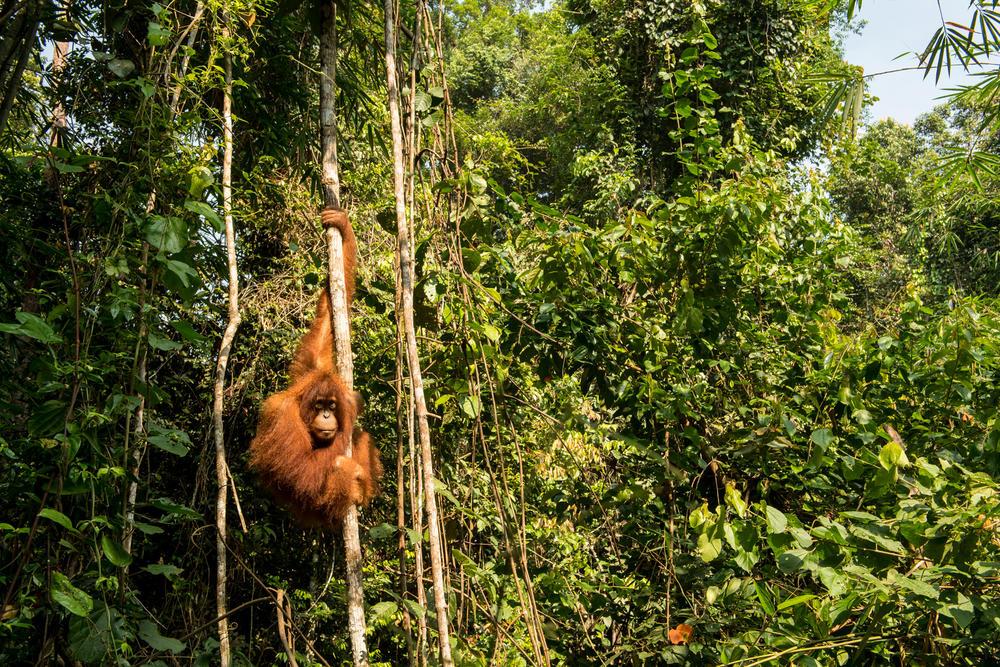 thirtyhills orangutan fall2018