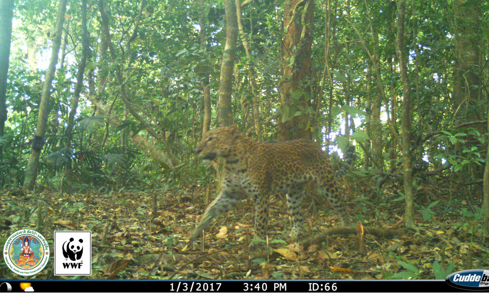 Leopard (Panthera pardus) captured on a camera trap in Kui Buri, Thailand