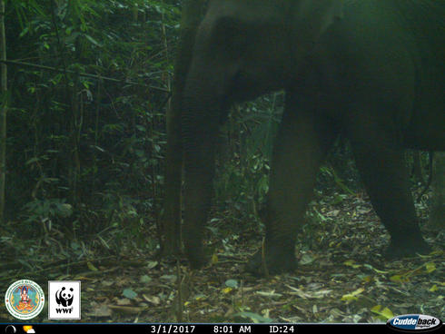 Elephant (Elephas maximus) captured on a camera trap in Kui Buri, Thailand