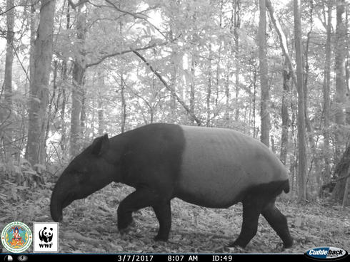 Tapir (Tapirus indicus) captured on a camera trap in Kui Buri, Thailand