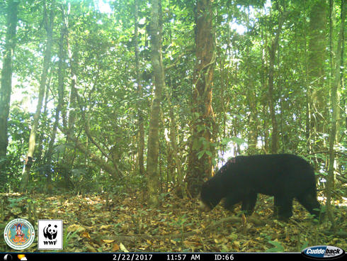 Sun Bear (Helarctos malayanus) captured on a camera trap in Kui Buri, Thailand