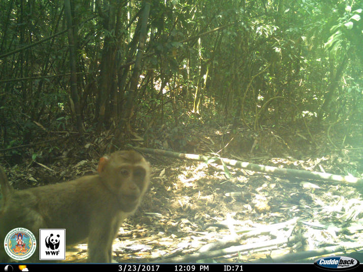 Pig-tailed Macaque (Macaca nemestrina) captured on a camera trap in Kui Buri, Thailand