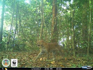 Leopard (Panthera pardus) captured on a camera trap in Kui Buri, Thailand