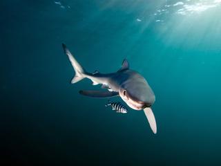 shark Shutterstock Fiona Ayerst WW243925