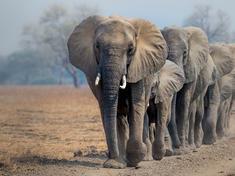 elephants/