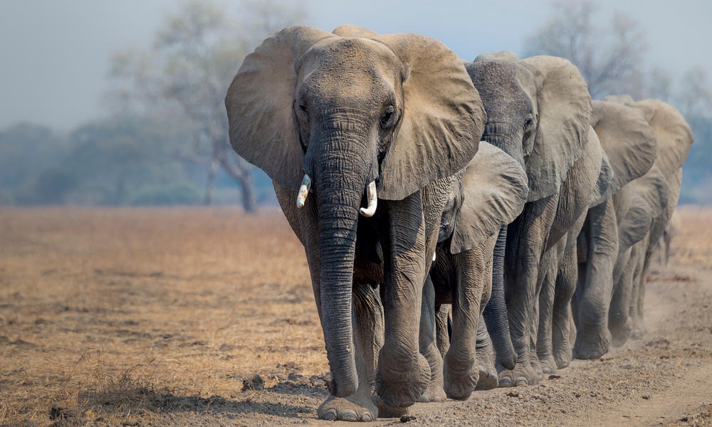 A herd of African elephants (Loxodonta africana) walking in line