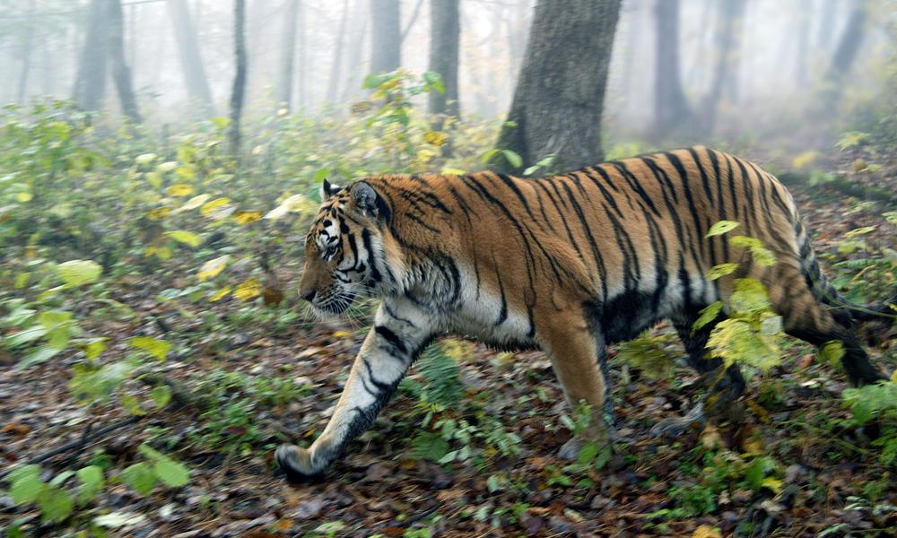 Amur Tiger | Species | WWF
