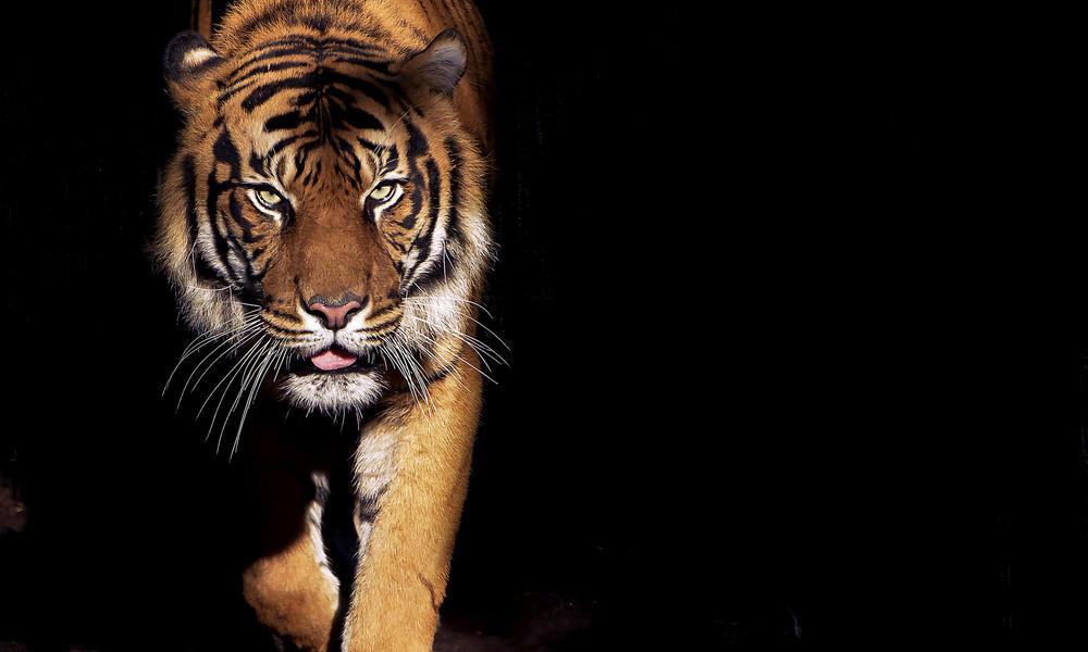tiger Shutterstock / Luke Wait WW231899