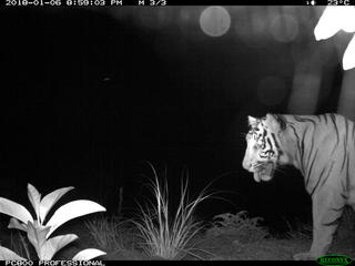 Sumatra Tiger camera trap 1