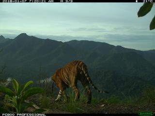 Sumatran tiger camera trap 2