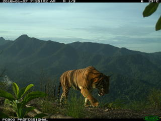 Sumatran tiger camera trap 3