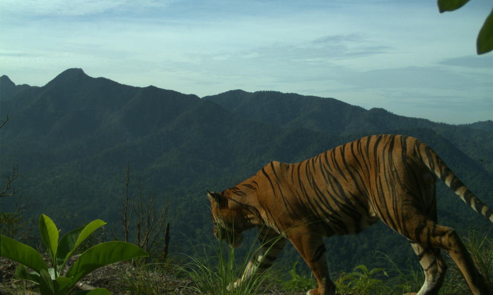 On top of a ridge of in Indonesia, a healthy male Sumatran tiger was spotted by camera traps earlier this year. Image: WWF