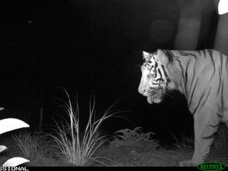 Sumatra Tiger camera trap 2