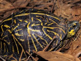 Box turtle resized