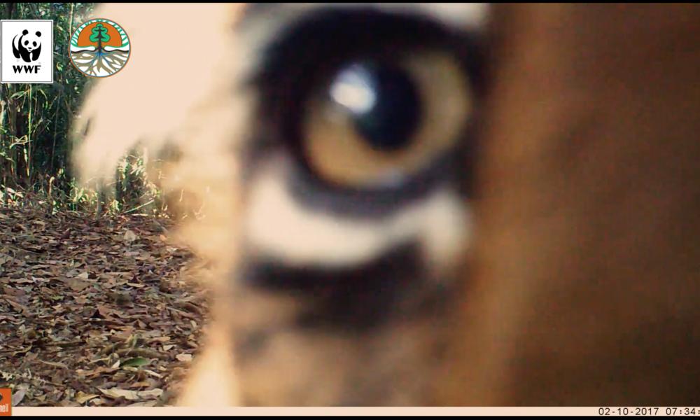 Sumatran tiger looking into camera trap 1