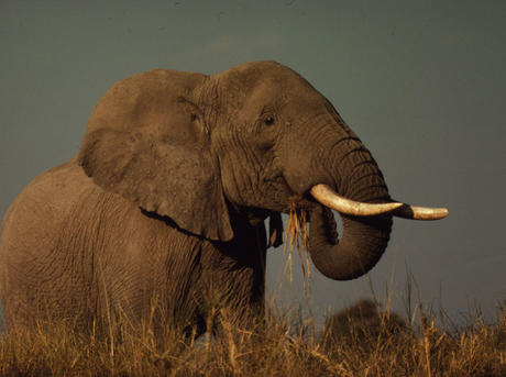African Savanna Elephant, East Africa