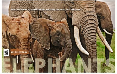 elephant download photo