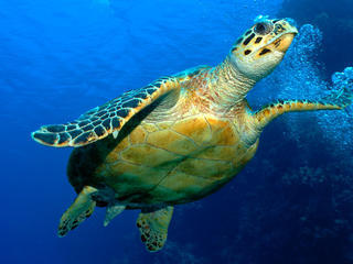 Hawksbill turtle (Eretmochelys imbricata), Red Sea, Egypt